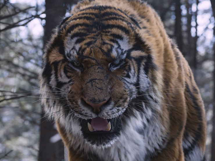 CGI Tiger from The Tiger: An Old Hunter's Tale (Daeho) (2015)